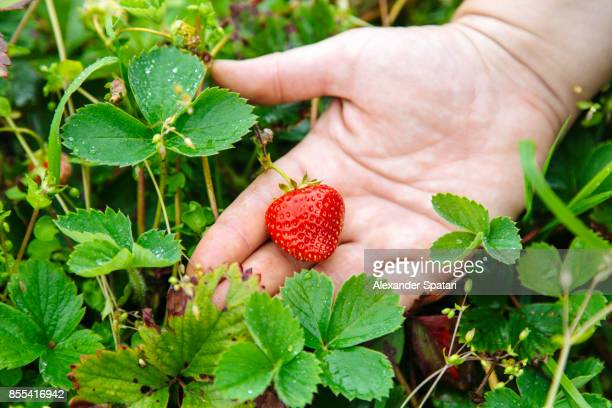 Close up of hand picking strawberry in the garden