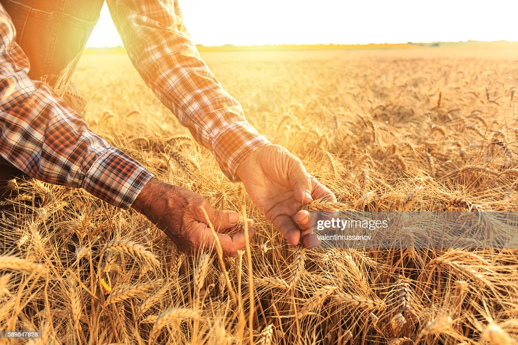 Close up of hands examining wheat growth : Stock-Foto