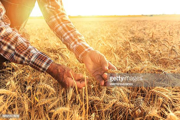 close up of hands examining wheat growth - wheat stock pictures, royalty-free photos & images