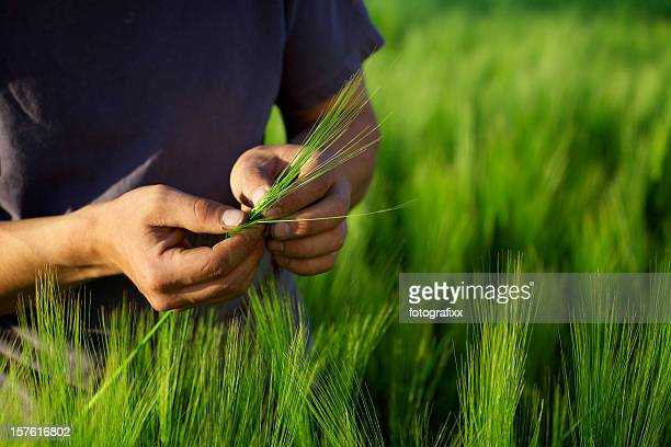 close up of hands from a farmer, holding barley