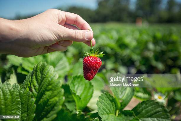 Close up of hands holding fresh strawberries