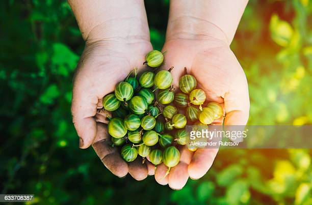 Close up of hands holding gooseberries