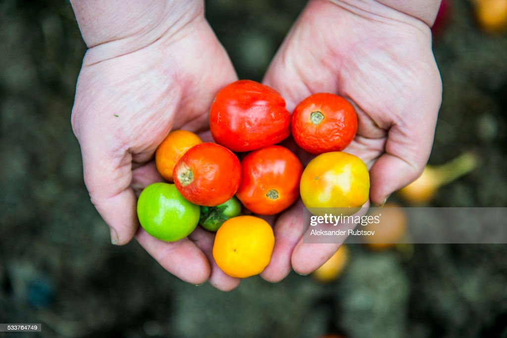 Close up of hands holding variety of tomatoes : Foto stock