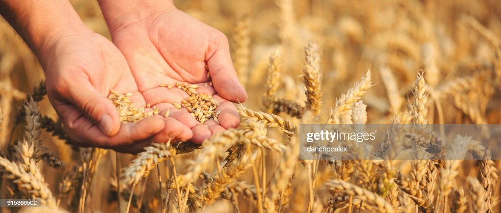 Close up of hands holding wheat grain : Stock Photo