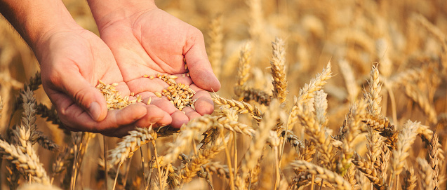 Close up of hands holding wheat grain 915366502