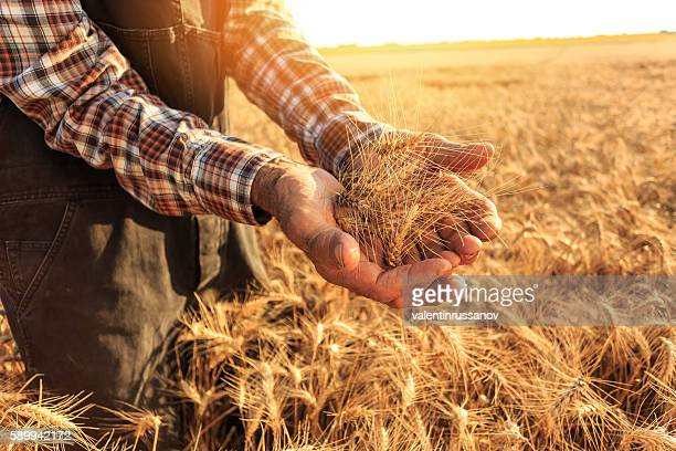 Close up of hands holding wheat growth