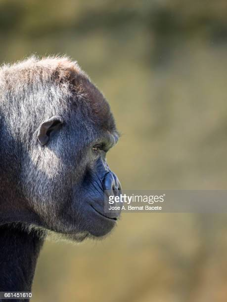 Close up of head gorilla