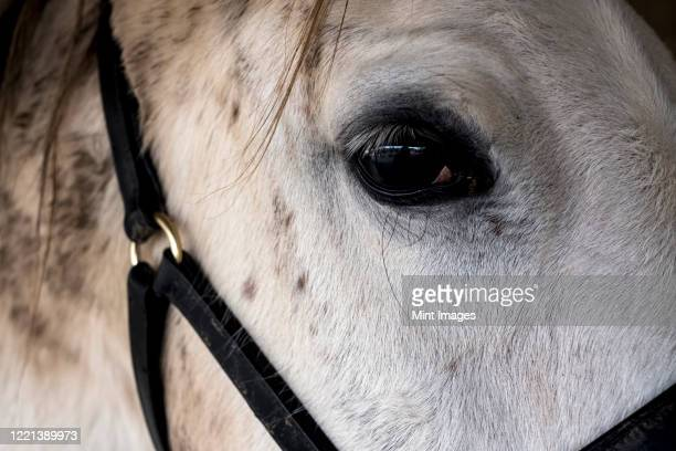 close up of head of white cob horse. - herbivorous stock pictures, royalty-free photos & images