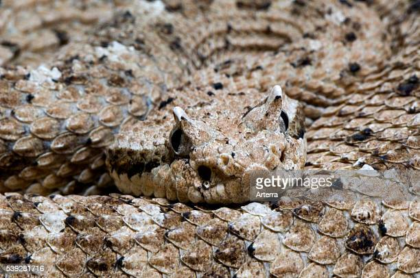 Close up of head with horns of horned sidewinder rattlesnake Arizona US