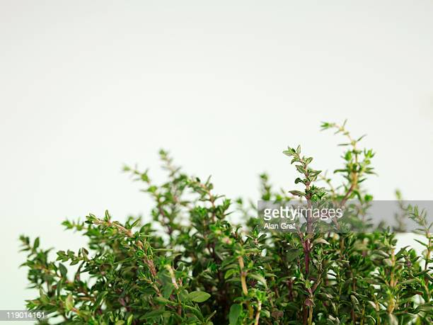 Close up of herbs