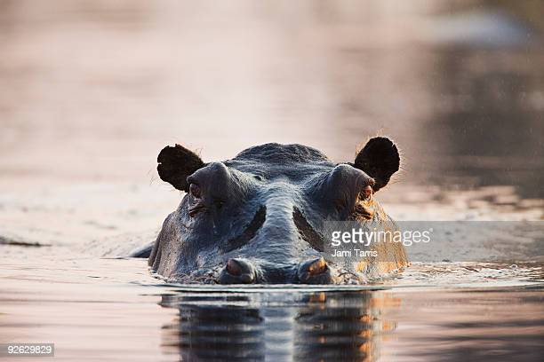 Close up of hippo at water level, sunset