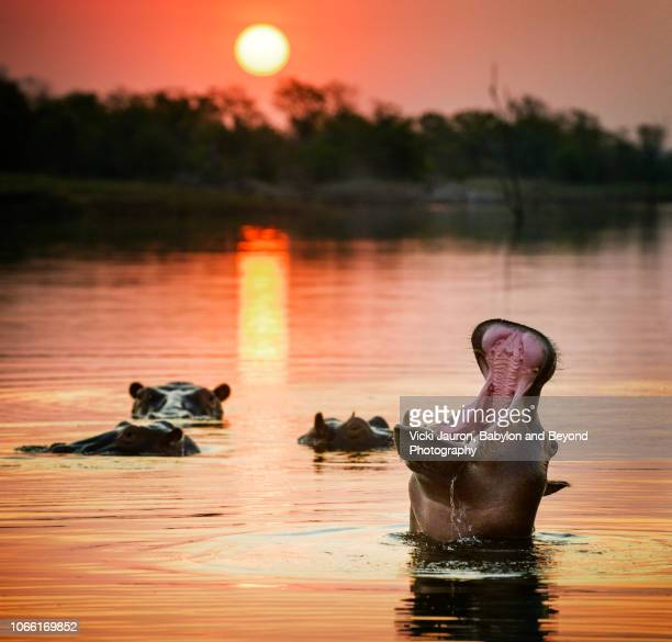 close up of hippopotamus mouth against sunset on lake kariba, zimbabwe - zimbabwe fotografías e imágenes de stock