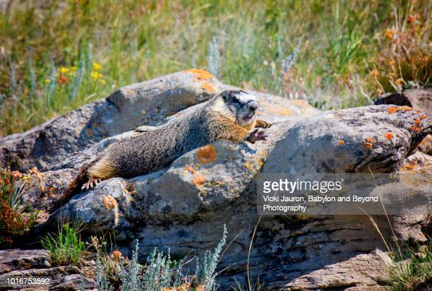 close up of hoary marmot at head smashed in buffalo jump in alberta, canada - funny groundhog stock photos and pictures