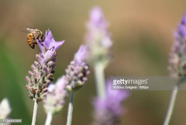 close up of honey bee on lavender flower - gregnol fotografías e imágenes de stock