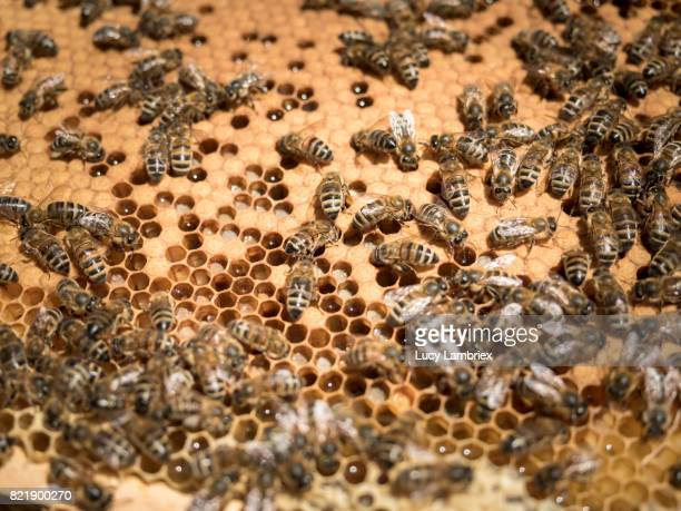 Close up of honey comb and bees