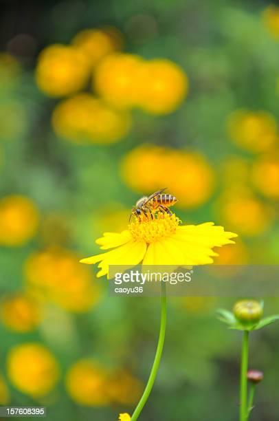 Close up of honeybee