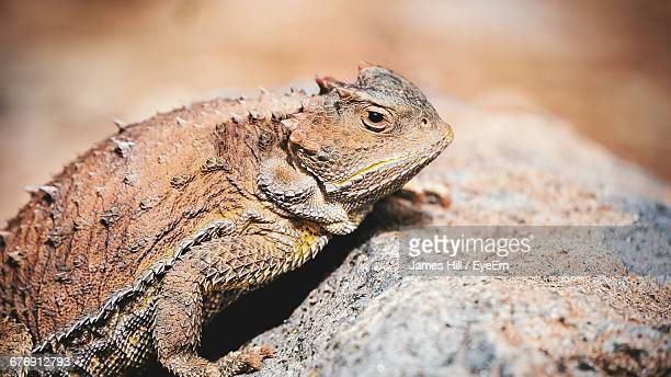 Close Up Of Horned Toad On Rock