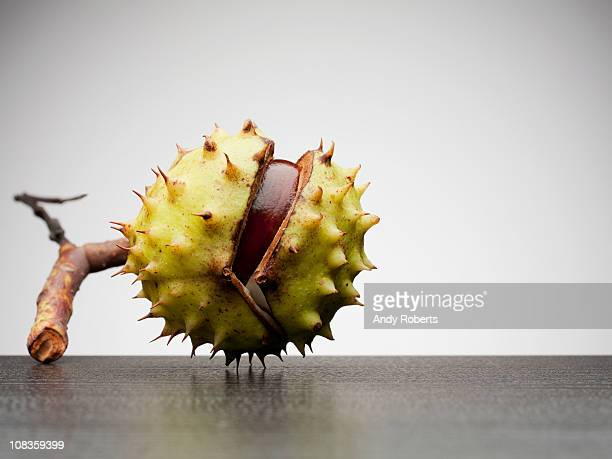 close up of horse chestnut - picture of a buckeye tree stock photos and pictures