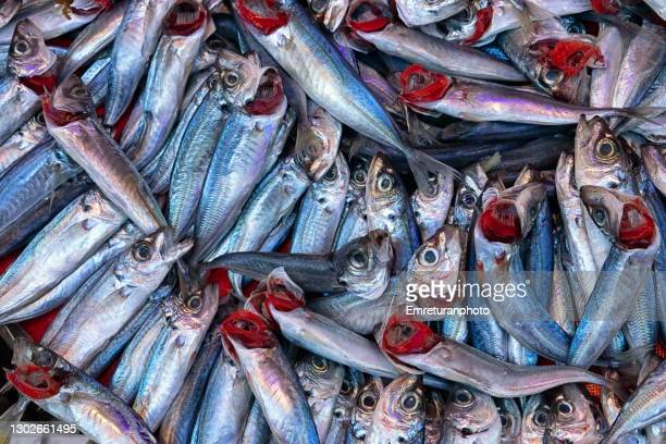 close up of horse mackerel in fish market. - trachurus stock pictures, royalty-free photos & images