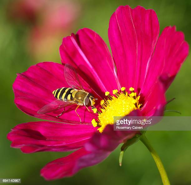 close up of hover fly on pink cosmos flower. - hot pink stock pictures, royalty-free photos & images