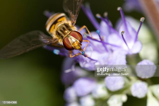 close up of  hoverfly - s0ulsurfing stock pictures, royalty-free photos & images