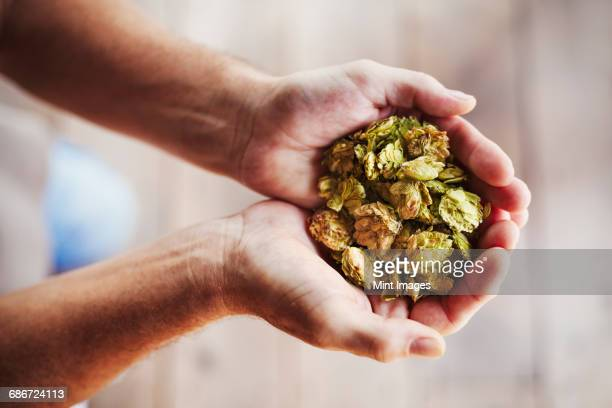 Close up of human hands holding a handful of dried hops.