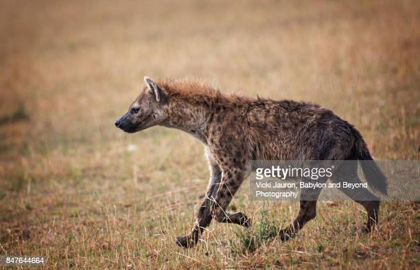 Close up of Hyena Running at Masai Mara