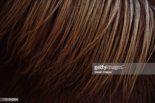 close up of iceland pony's chestnut ginger mane - animal markings stock pictures, royalty-free photos & images