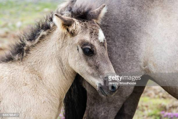 Close up of Icelandic horse foal and mother