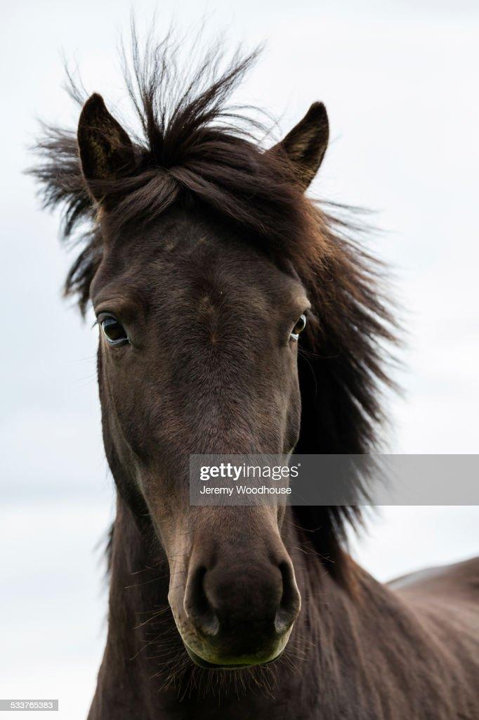 Close up of Icelandic horse : Foto stock