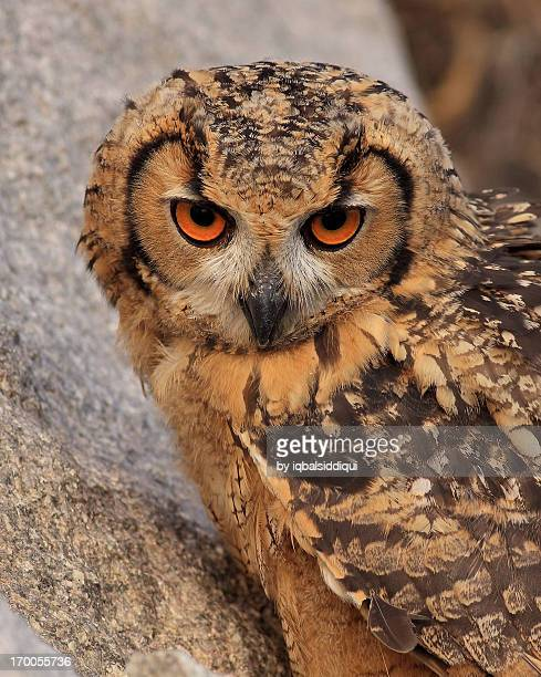 Close up of Indian Eagle Owl