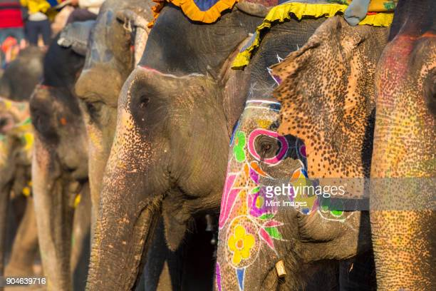 Close up of Indian Elephants with brightly coloured ornaments painted on their skin.