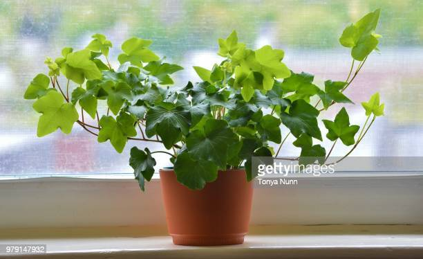 close up of ivy in brown flowerpot against window, new england, usa - edera foto e immagini stock