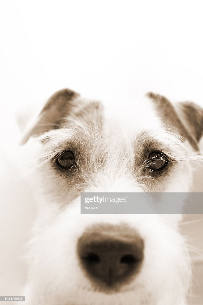 Primer plano de Jack Russell Terrier : Foto de stock