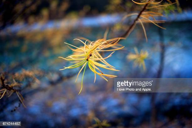 Close up of Japanese Larch in autumn