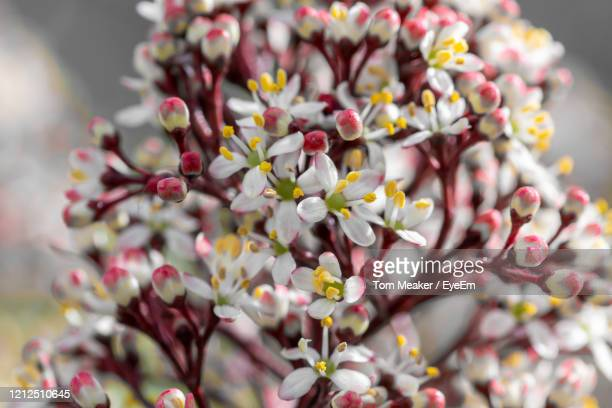 close up of japanese skimmia flowers in bloom - evergreen plant stock pictures, royalty-free photos & images