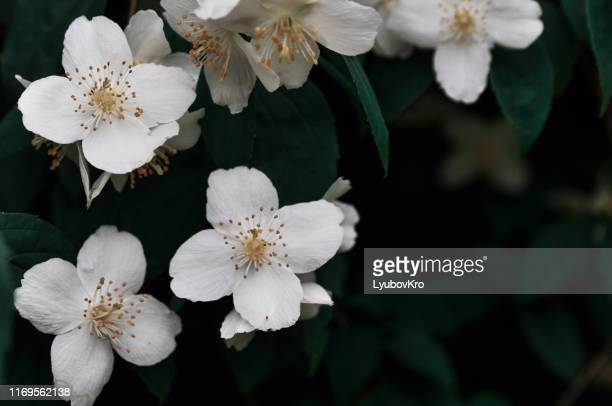 close up of jasmine flowers in a garden - jasmine flower stock pictures, royalty-free photos & images