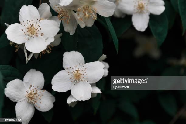 close up of jasmine flowers in a garden - jasmin bildbanksfoton och bilder