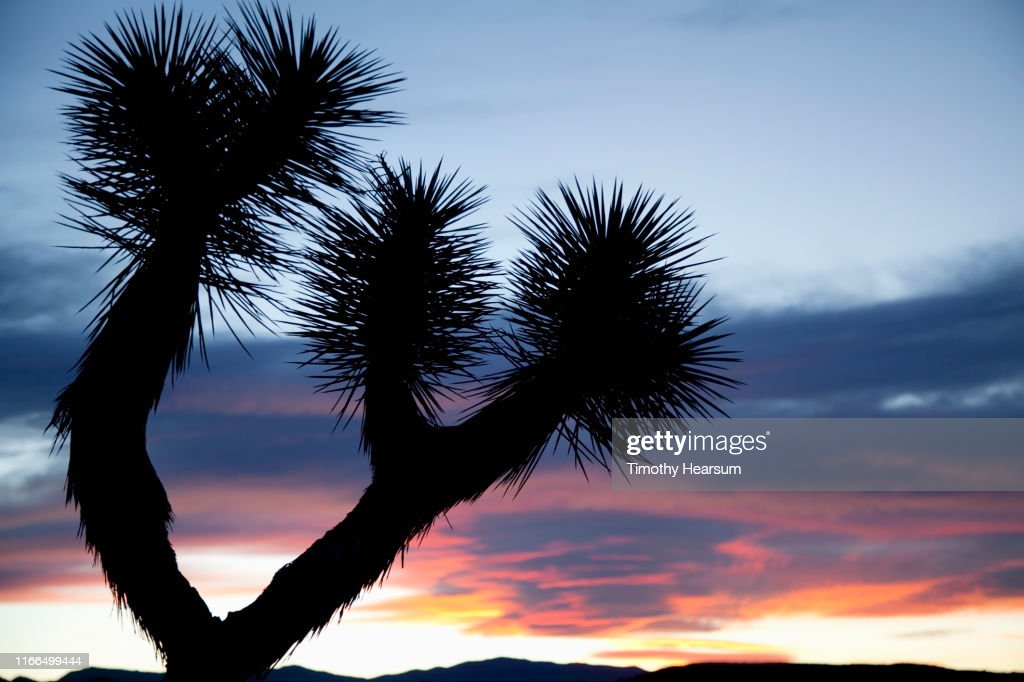 Close up of Joshua Tree branches silhouetted against a dramatic sky : Stock Photo