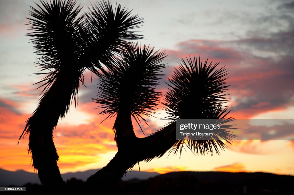 Close up of Joshua Tree branches silhouetted against dramatic sky : Stock Photo