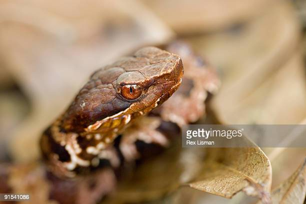 close up of juvenile cottonmouth - cottonmouth snake stock pictures, royalty-free photos & images