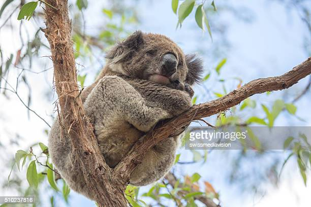 close up of koala sleeping in eucalyptus tree in australia - koala stock photos and pictures