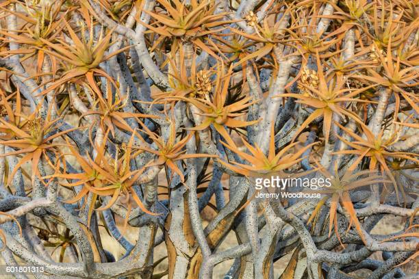 close up of kokerboom tree canopy - köcherbaum stock-fotos und bilder