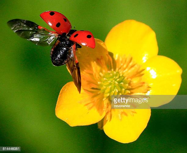 Close up of ladybug landing on a buttercup flower