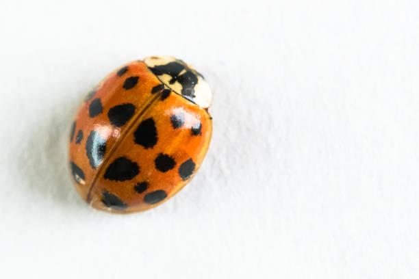 Facts, Identification, Behavior & Control of Yellow Ladybugs