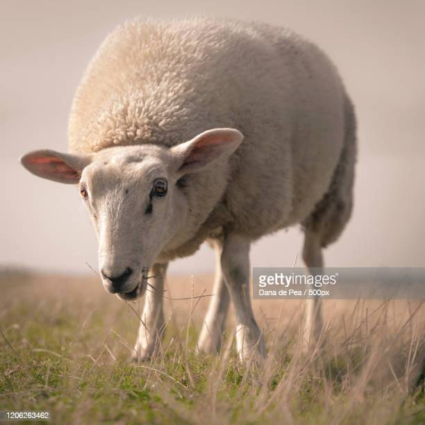 close up of large white sheep eating grass - dana white stock pictures, royalty-free photos & images
