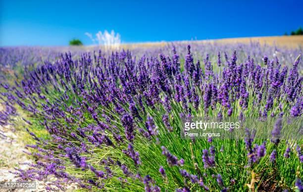 close up of lavender flowers growing in a row - lavande photos et images de collection