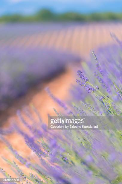 close up of lavender flowers in valensole,  alpes-de-haute-provence, france. - copyright by siripong kaewla iad stock photos and pictures