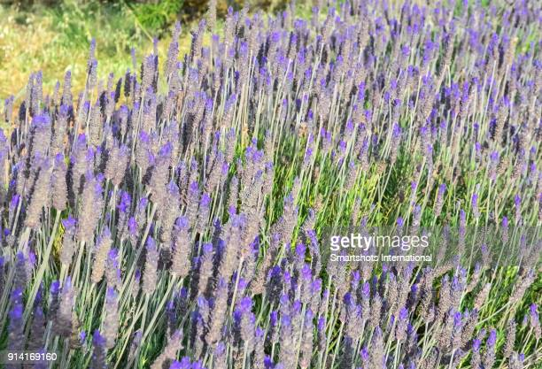 Close up of lavender plant flowers in bloom