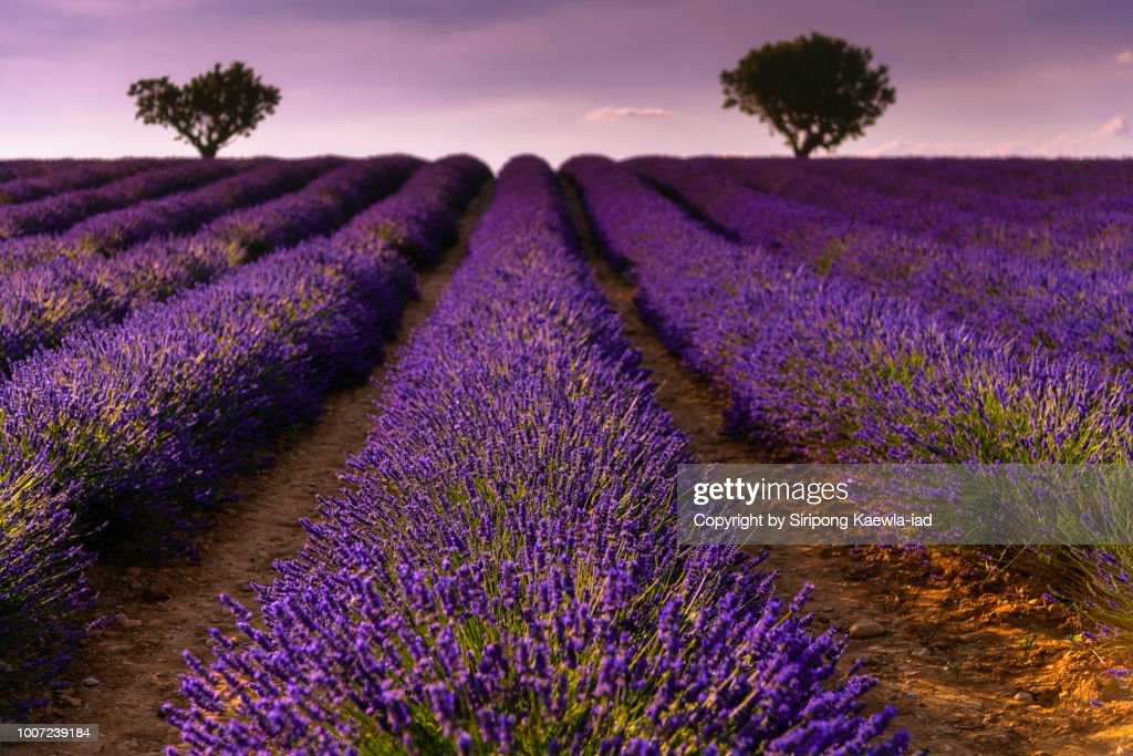 Close up of lavender rows in Valensole, France. : Stock Photo